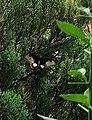Common Mormon (butterfly).jpg