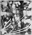 Common Spiders U.S. 500 Hyptiotes web.jpg