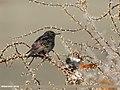 Common Starling (Sturnus vulgaris) (33192451673).jpg