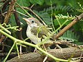 Common Tailor Bird, Juvenile.jpg