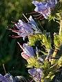 Common Viper's Bugloss (Echium vulgare) - Guelph, Ontario 2014-07-15.jpg