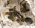 Common Wasp. Queen with workers. Vespula vulgaris - Flickr - gailhampshire (1).jpg