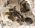 Common Wasp. Queen with workers. Vespula vulgaris - Flickr - gailhampshire (1).jpg
