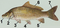 Common carp tagged.png