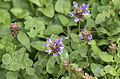 Common self-heal - Prunella vulgaris.jpg