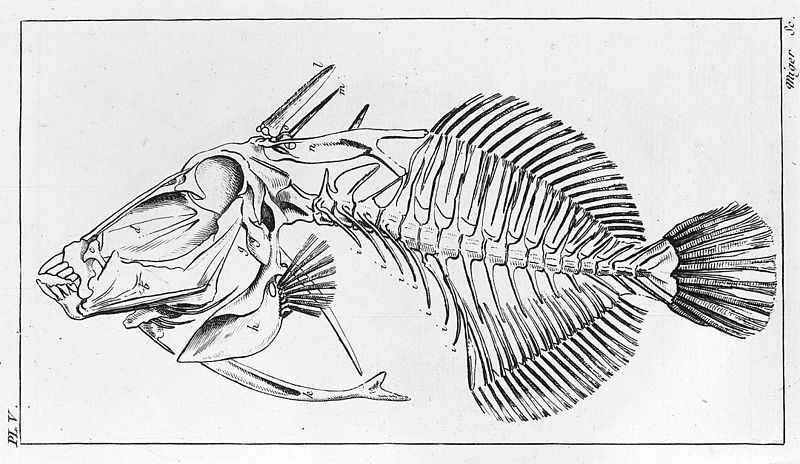 File:Comparative series of skeletons. -5. Balistes (Trigger fish). Wellcome M0011235.jpg