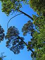 Concepcion, arboles en cerro Caracol (11656910396).jpg