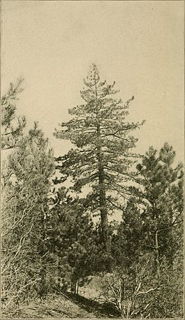 Cone-bearing trees of the California mountains (1911) (20493326359).jpg