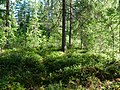 Coniferous forest in Sweden near the Svartälven river 06.jpg