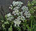 Conium maculatum Lincolnshire 2.jpg