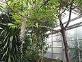 Conservatoire botanique national de Brest-Poupartia castanea-15 08 02-Filyg1 (20047491710).jpg