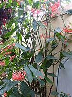 Conservatoire du bégonia 2015. Begonia corallina 01.JPG