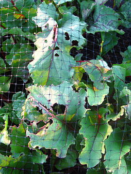 Container beets with cabbage moth damage.jpg