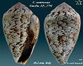 Conus ventricosus 2.jpg