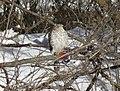 Cooper's hawk feeding on a blue jay 1.jpg