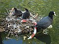 Coot's nest, Little Venice - geograph.org.uk - 800795.jpg
