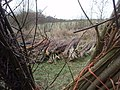 Coppiced Willow - geograph.org.uk - 747050.jpg