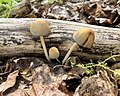 Coprinellus micaceus 123086722.jpg
