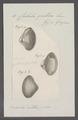 Corbula gallica - - Print - Iconographia Zoologica - Special Collections University of Amsterdam - UBAINV0274 079 12 0006.tif