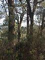 Cork trees 1, Pla de Junquera, El Surar, Pinet, Valencia.jpg