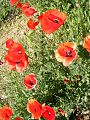 Corn-Poppies-Flowers 73005-360x480 (4900386782).jpg