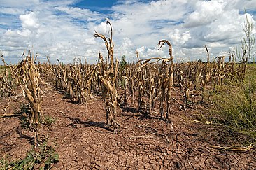 Corn shows the affect of drought.jpg