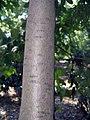 Cornus angustata 2zz.jpg