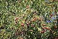 Cornus capitata - Quarryhill Botanical Garden - DSC03318.JPG