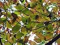 Cornus florida 14zz.jpg