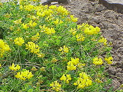meaning of coronilla