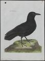 Corvus corax - 1790-1796 - Print - Iconographia Zoologica - Special Collections University of Amsterdam - UBA01 IZ15700201.tif