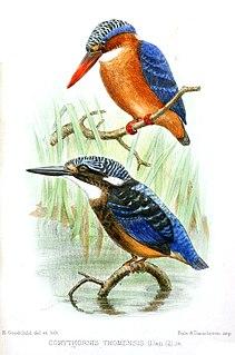 São Tomé kingfisher subspecies of bird