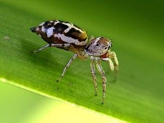 <i>Cosmophasis</i> genus of arachnids