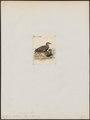 Coturnix delegorguei - 1820-1863 - Print - Iconographia Zoologica - Special Collections University of Amsterdam - UBA01 IZ17100121.tif
