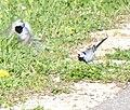 Couple bergeronnettes grises.jpg