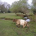 Cow in the stream, Burley Lawn, New Forest - geograph.org.uk - 427084.jpg