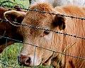 Cow near Edenderry - geograph.org.uk - 1948291.jpg