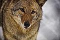 Coyote-face-tongue1 - Virginia - ForestWander.jpg
