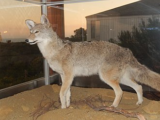 Cabrillo National Monument - Coyote exhibit at Cabrillo Visitor's Center