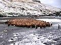 Crèche de manchots royaux - panoramio.jpg