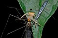 Crab Spider (Thomisidae) feeding on a Cranefly (Tipulidae) (7079446329).jpg