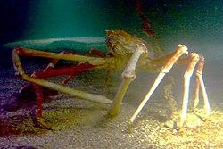 Crabzilla in Sea Life Scheveningen.JPG