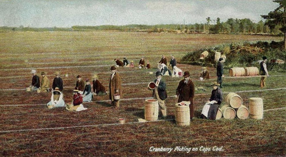 Cranberry Picking on Cape Cod