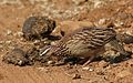 Crested Francolin, Dendroperdix sephaena, feeding in dung at Pilanesberg National Park, Northwest Province, South Africa (29859570675).jpg
