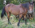 Criollo horse.jpg