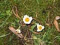 Crocus sieberi Bowles White3.jpg