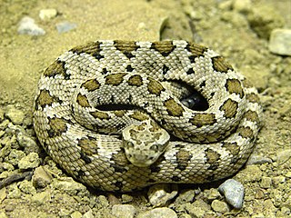 <i>Crotalus enyo</i> species of reptile