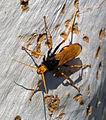 Cryptocheilus bicolor - Sydney 3.jpg