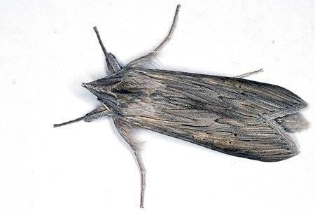 Cucullia umbratica 01(js), Lodz(Poland).jpg