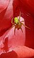 Cucumber Green Spider, Aaignée courge, Araniella cucurbitina, Lille, France, Lamiot 03.JPG